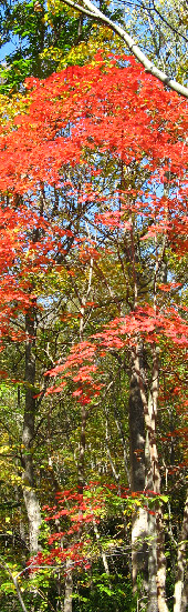 野幌森林公園の紅葉